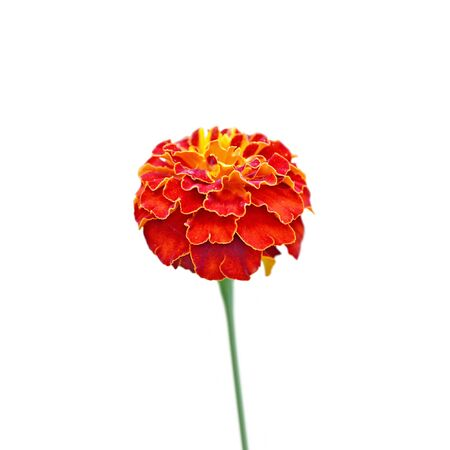 Beautiful burgundy marigold isolated on a white background Stok Fotoğraf