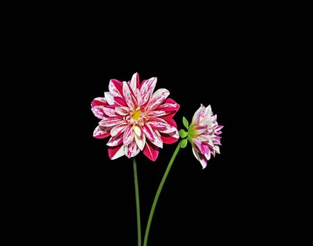 Two colorful dahlia isolated on a black background
