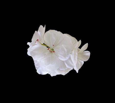White geranium flower isolated on a black background Stock Photo