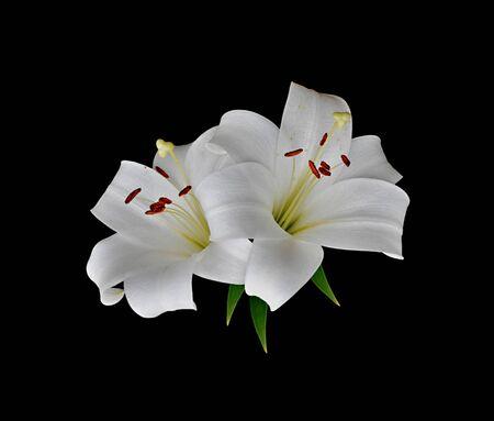 Hermosos lirios blancos aislados sobre un fondo negro Foto de archivo
