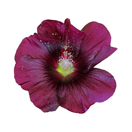 Maroon flower mallow isolated on a white background