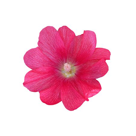 Pink mallow flower isolated on a white background