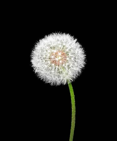 White fluffy dandelion isolated on a black background