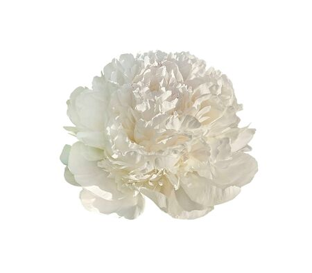 White peony flower isolated on a white background Reklamní fotografie - 133067365