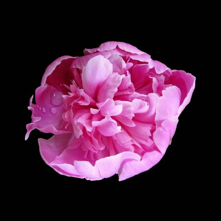 Beautiful pink peony isolated on a black background