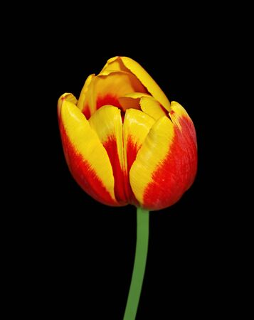 Beautiful motley tulip isolated on a black background