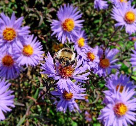 Shaggy striped bumblebee sitting on a chrysanthemum flower