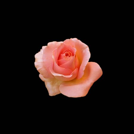 Beautiful orange rose isolated on a black background Standard-Bild