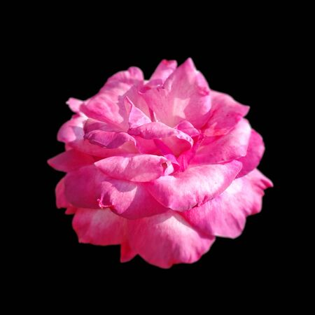 Beautiful pink rose isolated on a black background Standard-Bild