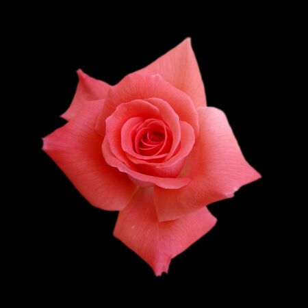 Beautiful pink rose isolated on a black background