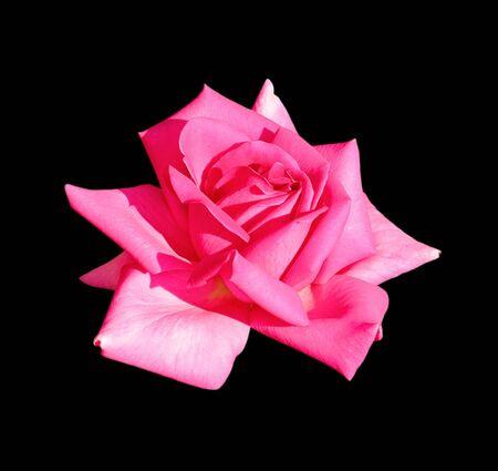 Schöne rosa Rose auf schwarzem Hintergrund isoliert Standard-Bild