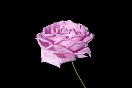 Beautiful purple rose isolated on a black background Standard-Bild