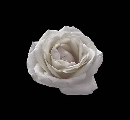 Beautiful white rose isolated on a black background