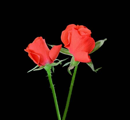 Beautiful red roses isolated on a black background