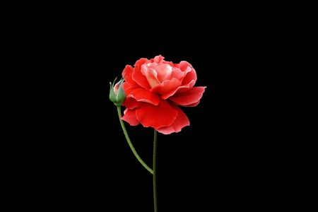 Beautiful red rose isolated on a black background