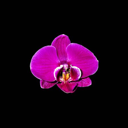 Beautiful purple orchid isolated on a black background