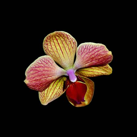 Beautiful orchid flower isolated on a black background