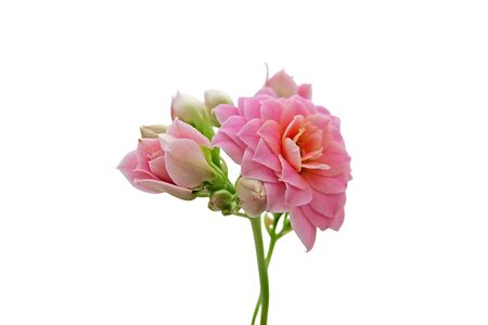 A sprig of beautiful pink flowers on a white background