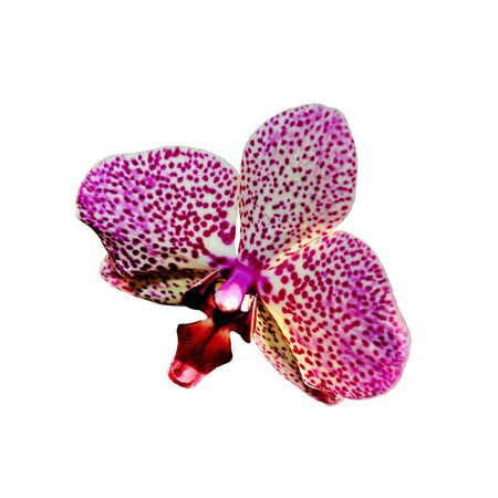 Beautiful pink spotted orchid isolated on a white background
