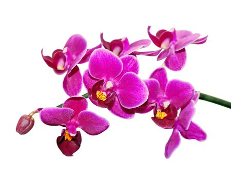 Beautiful purple orchid isolated on a white background