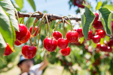Fresh cherries. Stock Photo