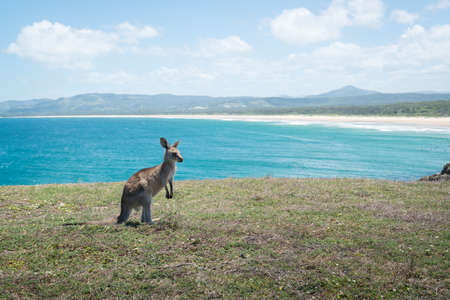 kangaroo at the beach. Stock Photo