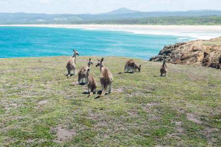 joey: Group of Kangaroo at Coffs Harbour, NSW, Australia. Stock Photo