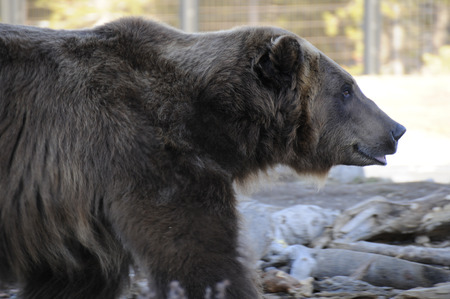 growl: Grizzly bear in captivity at a observatory outside national park