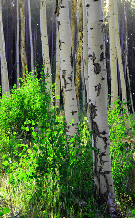 quaking aspen: aspen trees in early morning with back light from sun Stock Photo