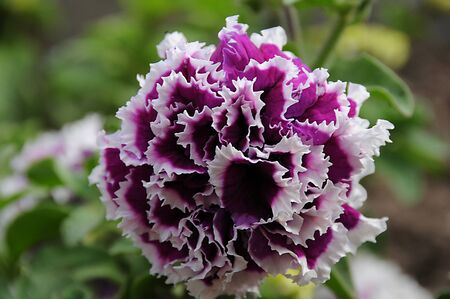 a frill: purple flower petunia
