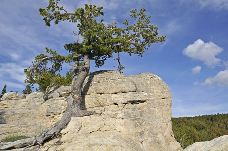 lone: Lone resiliant tree growing out of rocks high on hilltop