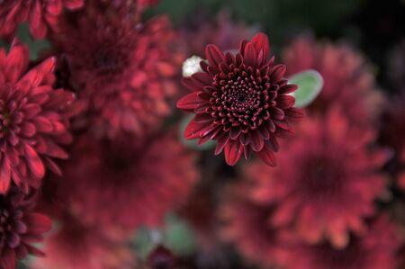 flower head in chrystanthemum garden photo