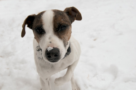 jack russel: Jack Russel shivering in snow, cold
