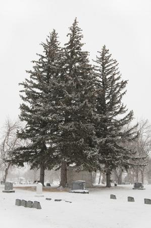 Pine tree stand in cemetary,winter scene Banco de Imagens