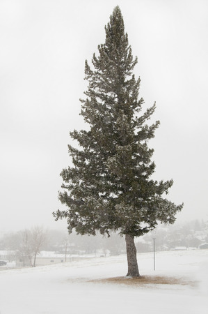 snow covered tree with white background, Banco de Imagens