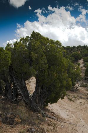 Sagebrush , pine tree, odd shape, atv road winding around Banco de Imagens