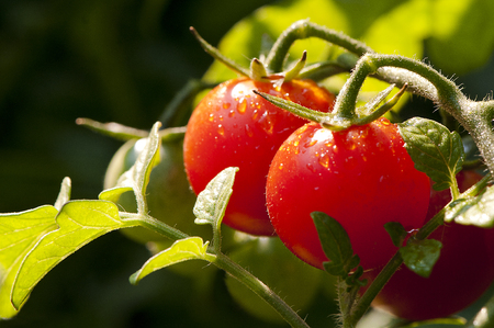 二つ、トマトは