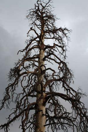 uğursuz: ominous tree in the Hualapai mountains