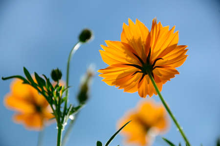 Yellow cosmos flowers shot from down under  againt bright blue sky. photo