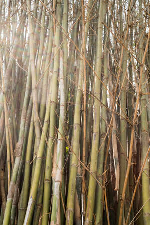 asian gardening: bamboo Stock Photo