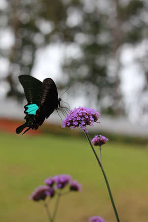 ingestion: Black butterfly land on a violet flower