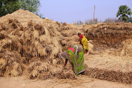 gaya: BODH GAYA, BIHAR, INDIA - NOVEMBER 28, 2013: Unidentified Indian farmers work hard under the sun to stack hays in a village near Sujata Kuti, Bodh Gaya.