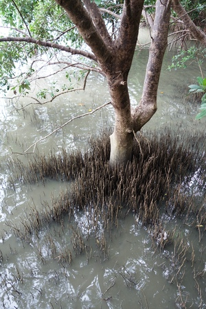 mangroves: Aerial roots of coastal mangroves