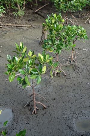 wetland conservation: Young planted mangrove trees Stock Photo