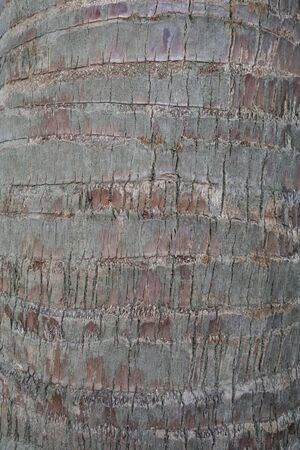 toddy palm: Bark texture of Toddy Palm tree