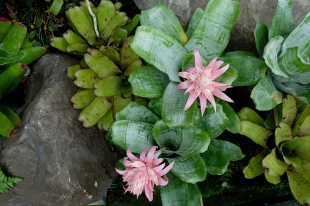 urn: Pink Urn plant or Silver Vase plant