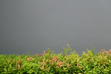 wall background: Mixed color shrub with gray wall background