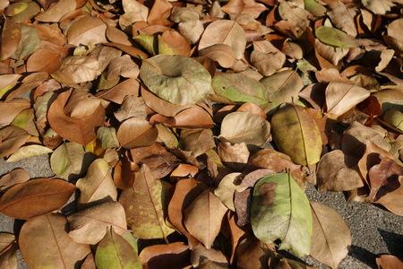 hojas secas: Las hojas secas de la planta