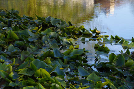 lily pads: Lily pads in spring