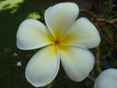 Plumeria obtusa blossom photo
